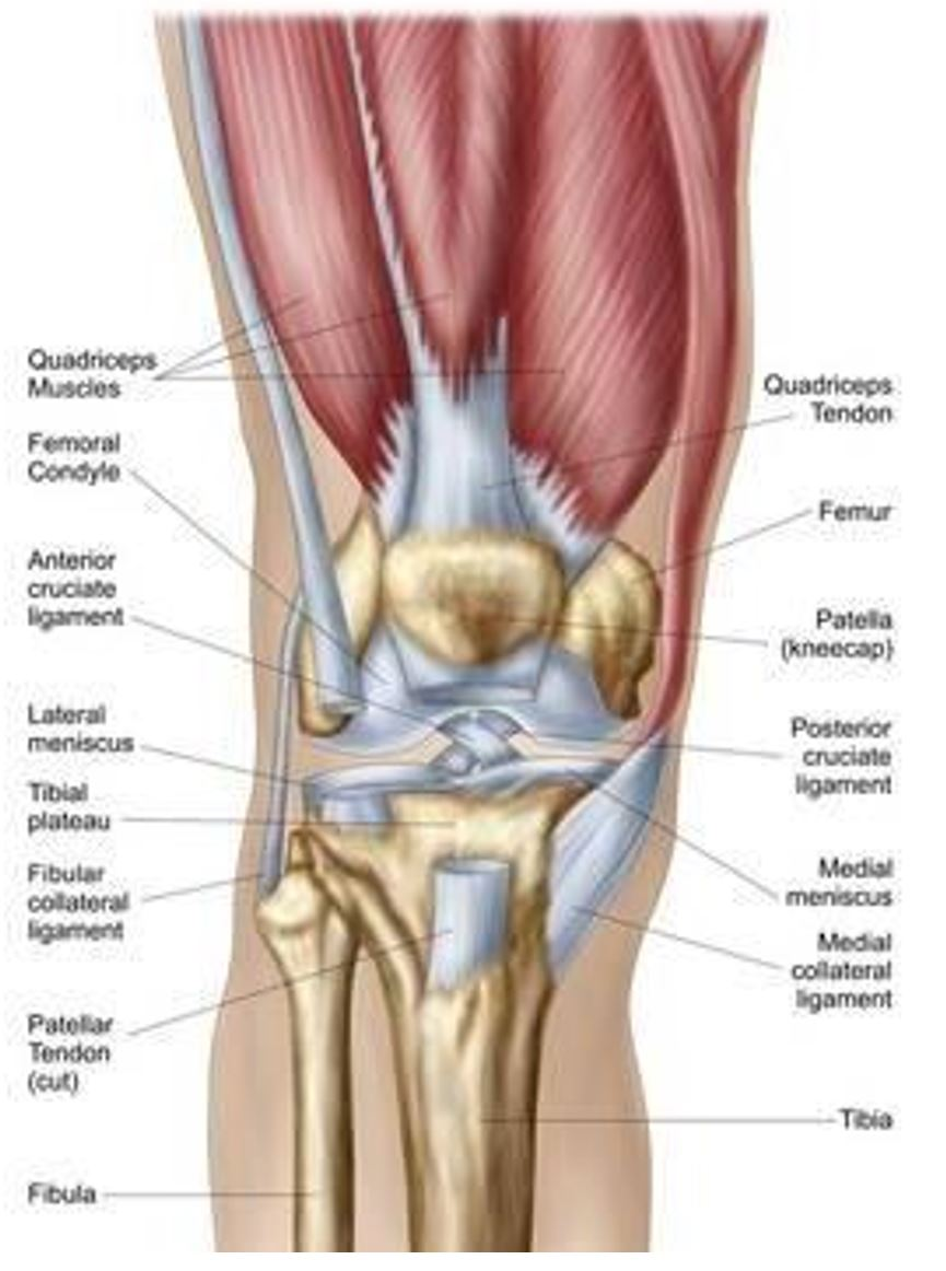 The Anterior Cruciate Ligament